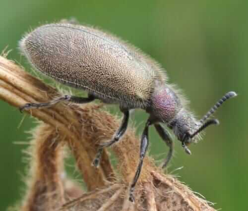 The Lagria villosa beetle is a soybean pest
