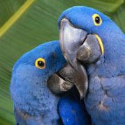 Blue parrots native to Belize.